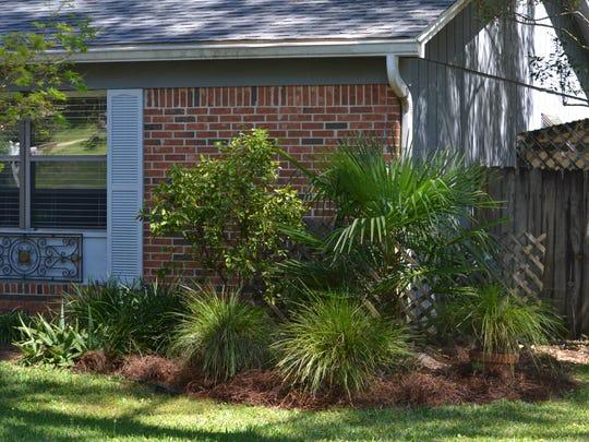 Windmill palm, Lomandra breeze grass, and Calamondin.