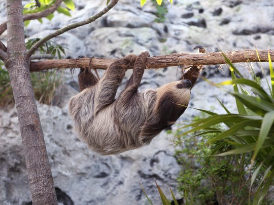 Xena, a Linnaeus's two-toed sloth, moves around in