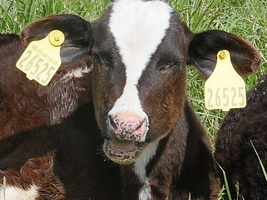 Scours, a diarrheal condition that is particularly hard on calves, is worse for cold-stressed calves.