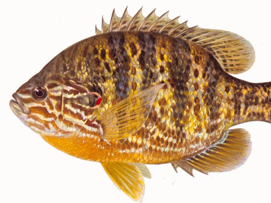 Pumkinseed is a fish that doesn't yet have an established state record in Iowa.