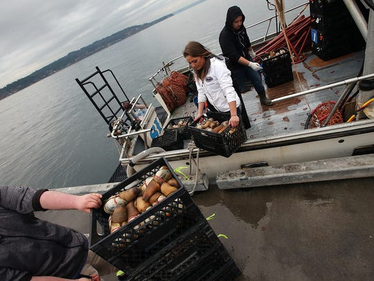Suquamish Seafoods' (left to right) Jake Anderson, Shellene Kurtz and James Banda unload freshly harvested geoducks from the boat at the Suquamish dock on Friday.