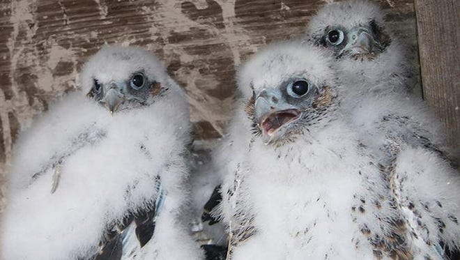 Three peregrine falcons chicks were hatched atop the Tappan Zee Bridge. They were born between April 24 and 27, 2015. Schoolchildren named them Hudson, Bridge-ette and Zee in a naming contest. They took their first flight in June.