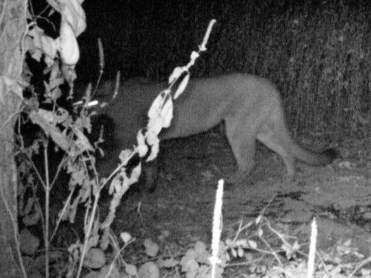 635797408547379527-cougar