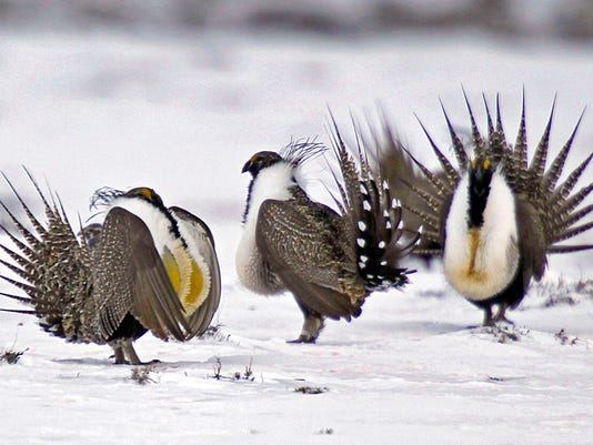 Greater Sage Grouse