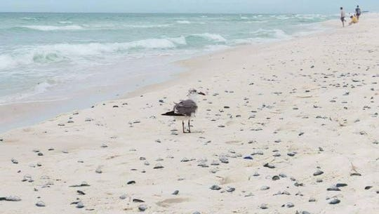 A southern wind has washed thousands of stinging polyps onto Pensacola Beach.