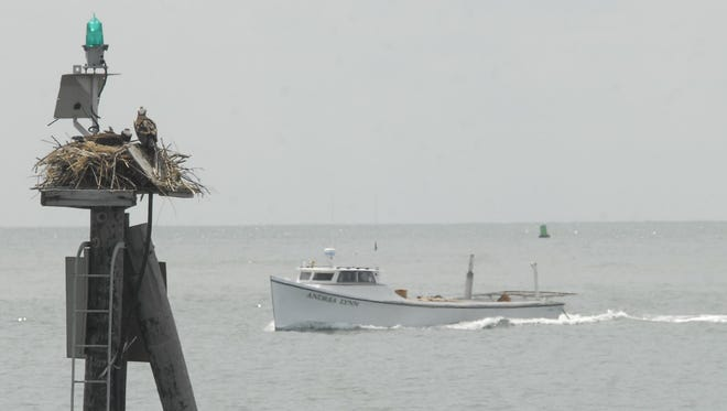 A nest of ospreys watch the trawler Andrea Lynn as it heads into Cape Charles Harbor.