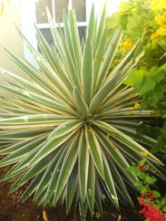 Succulents and agaves, such as this blue agave, provide