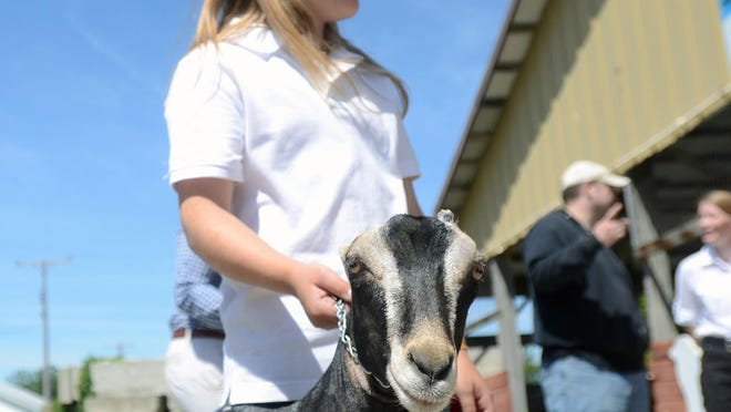 Lily Kettlewell, of Croswell, holds onto her Lamancha goat, Tallahassee, after showing at the 2014 Croswell Agricultural Fair.