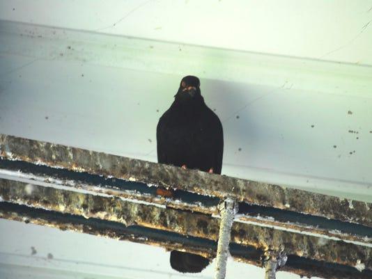 636603016212859197-Paseo-pigeons01.JPG