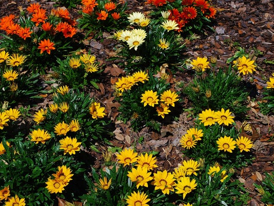 636643118642293578-Gazania-June-24--yard-doc.JPG