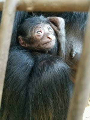 The name and gender of a baby siamang born at Greenville Zoo will be determined in weeks to come.