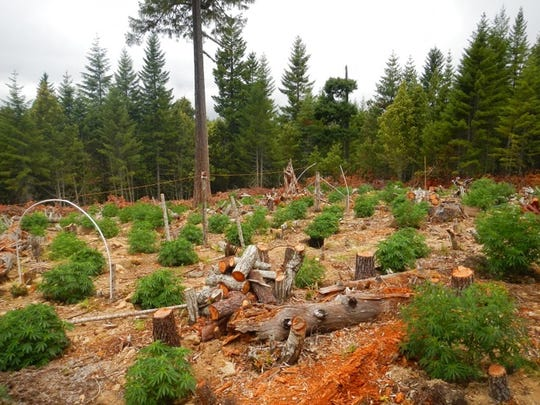 In this undated photo provided by the California Department of Fish and Wildlife, are fallen trees amidst a marijuana farm in the Klamath River watershed, just outside the Yurok Reservation near Klamath, Calif. California pot growers choosing to go legal in the New Year will face a host of new environmental rules and regulators. A study published earlier this year found that plot for plot, marijuana is more damaging in Northern California's forests than commercial logging.