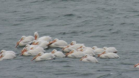 At least two dozen pelicans were spotted bobbing in Lake Michigan in Oceana County on Monday, May 11, 2015.