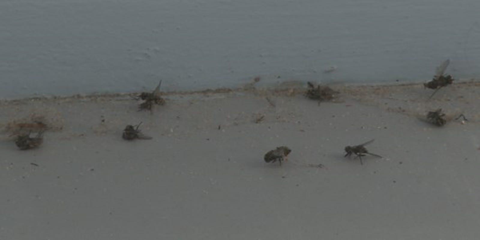 Biting flies annoy Michigan beachgoers