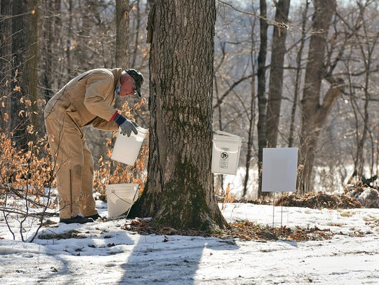 Dan Weber works his way from tree to tree hanging buckets