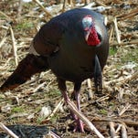 Dave Wolf: Wild turkey is a worthy opponent in the fall