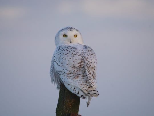 Mark Ramsey photographed this snowy owl recently in