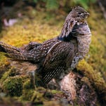Smith: Regional study will examine the impact of West Nile Virus on ruffed grouse