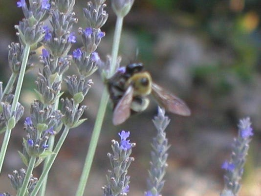 sweet lavender flowers with bumble bee (1)