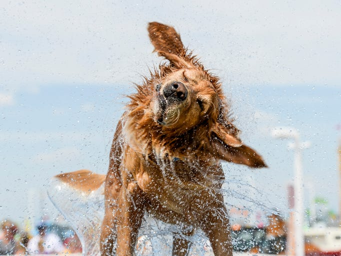 Moses shakes himself off after competing in the Splash Dog competition at the Larimer County Fair Friday, August 1, 2014, in Loveland, CO. The jump length was measured when the dog jumped into the pool to retrieve a toy.