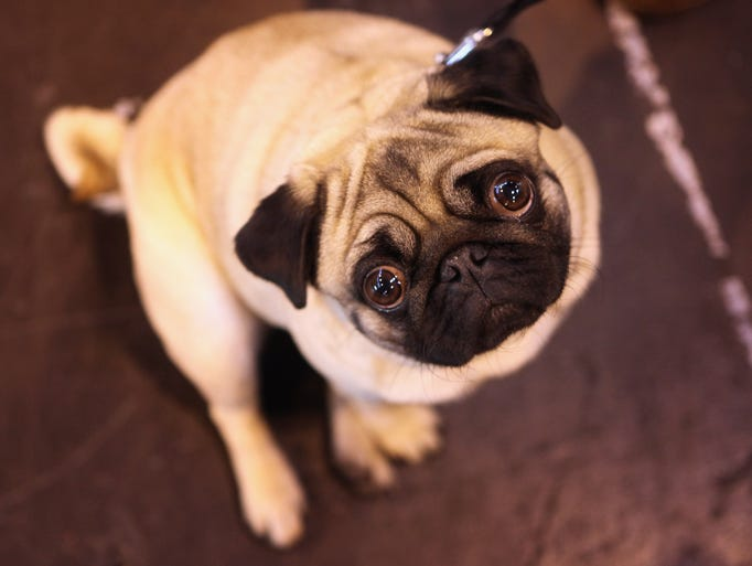 BIRMINGHAM, ENGLAND - MARCH 13:  A pug dog stands in the exhibition hall on the final day of the annual Crufts dog show at the National Exhibition Centre on March 13, 2011 in Birmingham, England.
