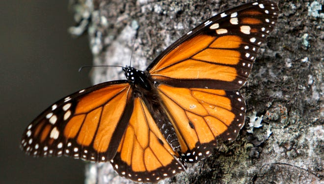 In this Dec. 9, 2011, file photo a Monarch butterfly sits on a tree trunk at the Sierra Chincua Sanctuary in the mountains of Mexico's Michoacan state.