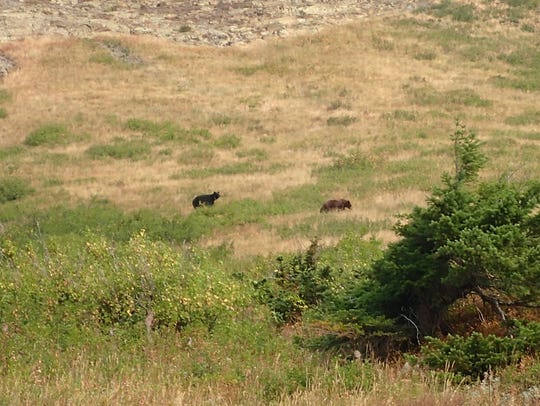 Black bears wander along the north shore of Josephine