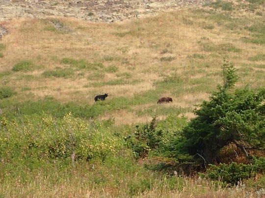 Black bears wander along the north shore of Josephine
