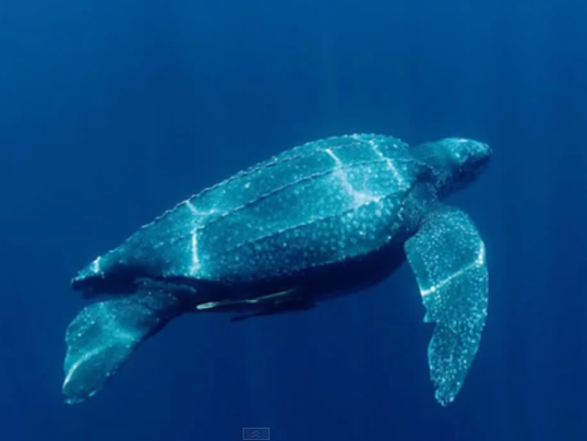 leatherback sea turtle my indy prize video clip