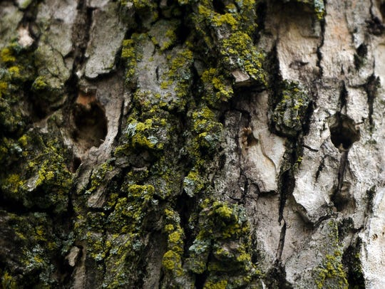 The emerald ash borer, a kind of beetle, has been killing