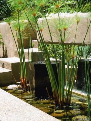 Natural water gardens are the perfect place for papyrus to grow in sheltered courtyards.
