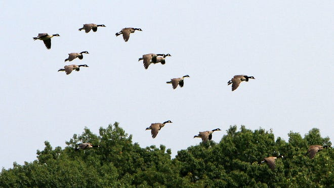 A flock of Canada geese come in for a landing in a field off Saw Mill River Road in Elmsford Aug. 26, 2013.