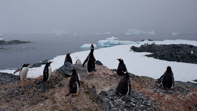 Gentoo penguins stand on a rock near station Bernardo O'Higgins, Antarctica. The melting of Antarctic glaciers as a consequence of global warming is concerning scientists as this contributes to rising sea levels which will eventually reshape the planet. The rising of sea levels will affects at least a billion people worldwide.