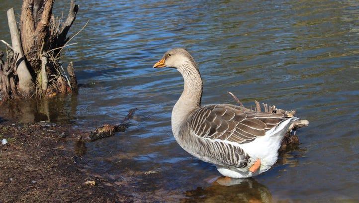 Discarded fishing line cripples fowl at Shreveport duck pond