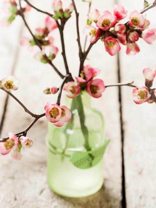 636230257753235909-flowering-quince-nschatzi-canstockphoto33302377.jpeg