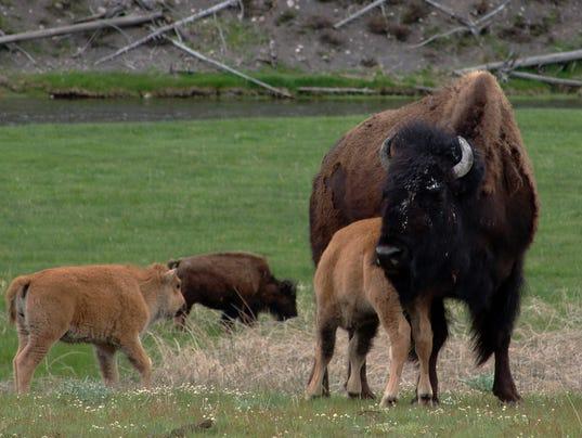 636262327041359650-FALBrd-12-18-2016-Tribune-1-A003--2016-12-17-IMG--bison-nursing-2.jpg-1-1-6UGPHMDV-L940158943-IMG--bison-nursing-2.jpg-1-1-6UGPHMDV.jpg