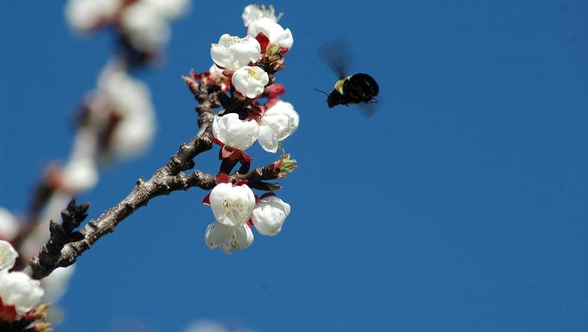 Apple and cherry trees require pollinators to produce good yields and high-quality fruit.