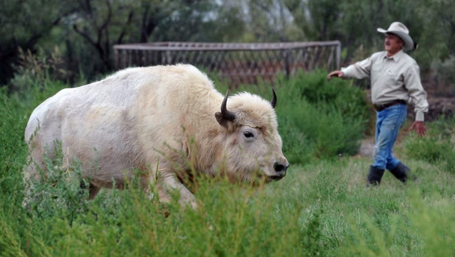 Robin Pinkman, longtime cattle rancher and buffalo raiser, shows his rare white buffalo heifer on his ranch near Kamay. The animal is about 2 1/2 years old.