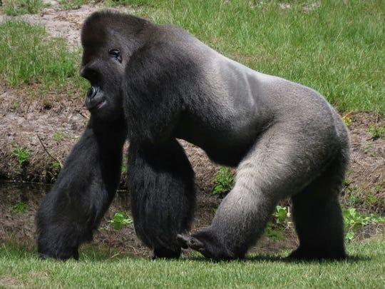 A gorilla strolls through the gorilla island compound at the Gulf Breeze Zoo.