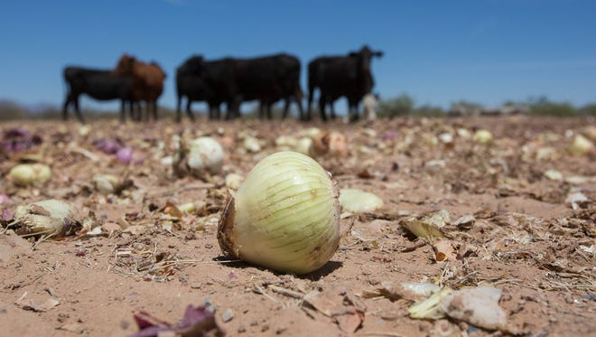 Last week, Barker Produce dumped 30,000 to 40,000 pounds of culled onions for a rancher to use as feed for cattle. The public got word of the onions and began helping themselves. By Tuesday May 29, 2018, the pile had been removed but a small herd of cattle grazed on the leftover onions.