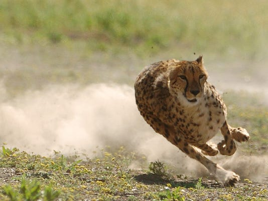636075531107047099-Cheetah-500-07.jpg