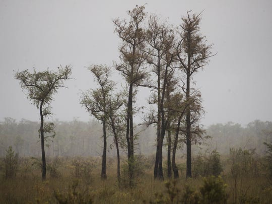 A cypress stand is seen off of Tamiami Trail in the