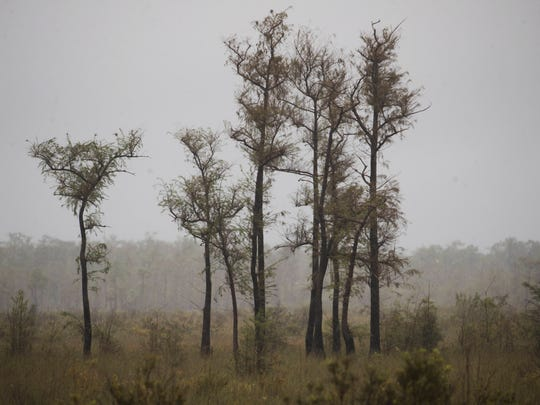 A cypress stand is seen off of Tamiami Trail in the Everglades. The eye of Hurricane Irma raked over this area.