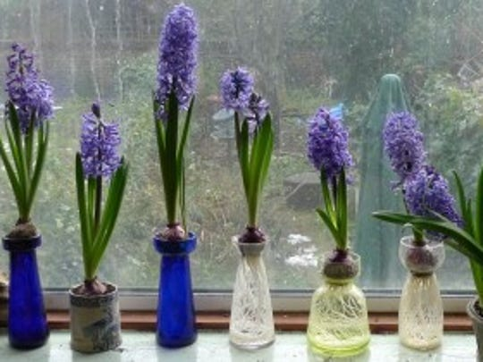 Enjoy spring bulbs during the dreary days of winter.