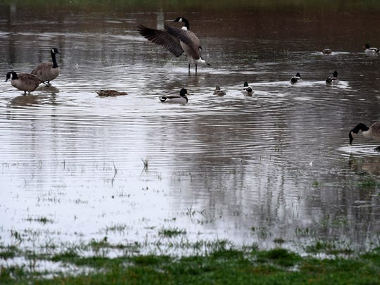 Geese and ducks frolic after a pond formed outside
