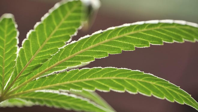 FILE -- This Monday, May 20, 2019 file photo shows a marijuana leaf on a plant at a cannabis growing facility.