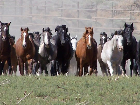 Wild horses at the U.S. Bureau of Land Management's Litchfield Corral in Northern California.