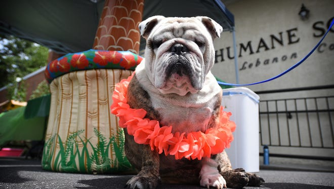 The Humane Society of Lebanon County held the second annual Bow Wow Meow Luau Saturday, July 16. Held in conjunction with an adoption drive, the Humane Society offered discounts on adoptions. There was face painting, hot dogs and snacks, shelter tours, and opportunities to meet shelter animals. Frank, a bulldog, sported his lei while attending the luau with his owner Brandon Hess.