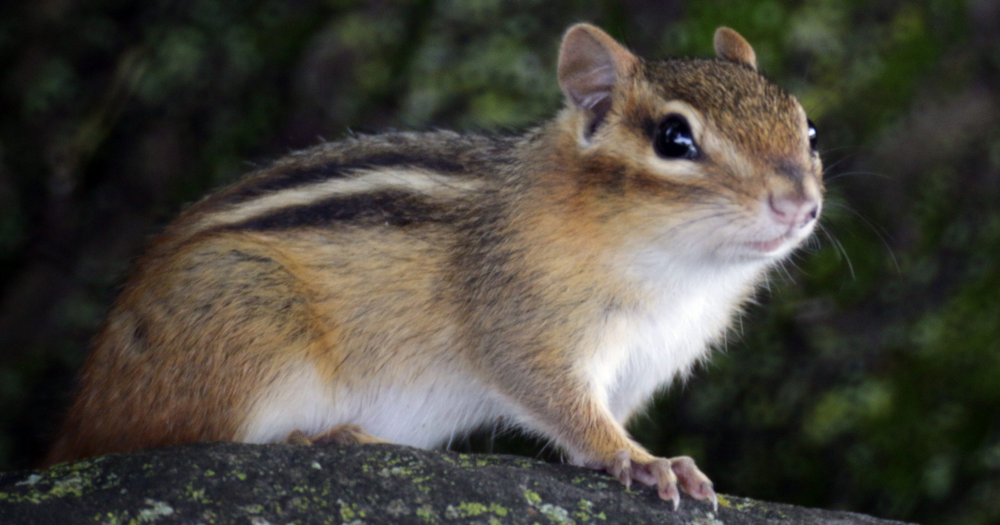 six tips to avoid chipmunk damage to your home