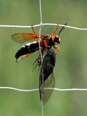 SECOND_Cicada_Killer_Wasp_with_Cicada